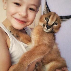 Serval i Savannah, kocięta karakalne zarejestrowane